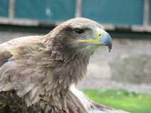 Tawny örn Royaltyfri Fotografi