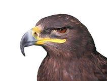 Tawny örncloseup för Steppe Fotografering för Bildbyråer