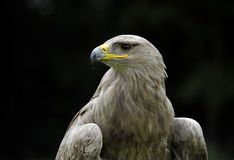 tawny орла Стоковые Фотографии RF