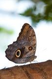 tawny сыча бабочки Стоковая Фотография RF