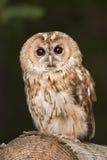 tawny сыча Стоковые Фото