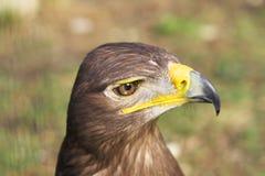 orła tawny Obraz Royalty Free