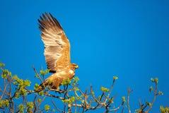 Tawny Adler (Aquila rapax) Lizenzfreie Stockbilder