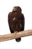Tawny Adler. Getrennt über Weiß Lizenzfreie Stockbilder