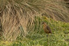 Tawny antpitta on a hill. This is a photo of a tawny antpitta, taken in national park cajas, Ecuador royalty free stock photo
