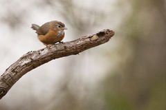 Tawny bellied babbler Royalty Free Stock Image
