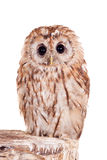 Tawny or Brown Owl isolated on white Royalty Free Stock Photos