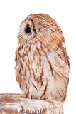 Tawny or Brown Owl isolated on white Royalty Free Stock Photography