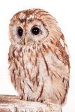 Tawny or Brown Owl isolated on white. Tawny or Brown Owl, Strix aluco, isolated on the white background royalty free stock photos