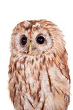 Tawny or Brown Owl isolated on white Stock Image