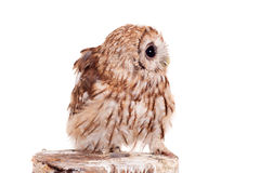 Tawny or Brown Owl isolated on white. Tawny or Brown Owl, Strix aluco, isolated on the white background royalty free stock photography