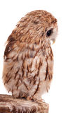 Tawny or Brown Owl isolated on white. Tawny or Brown Owl, Strix aluco, isolated on the white background stock image
