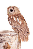 Tawny or Brown Owl isolated on white. Tawny or Brown Owl, Strix aluco, isolated on the white background stock photo
