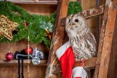 Tawny or Brown Owl, Strix aluco, Royalty Free Stock Photo