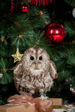 Tawny or Brown Owl, Strix aluco, Royalty Free Stock Image