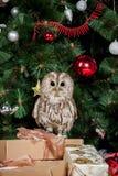 Tawny or Brown Owl, Strix aluco, Stock Photos
