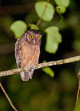 Tawny-buktad ScreechOwl Royaltyfria Bilder