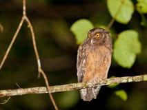 Tawny-buktad ScreechOwl Arkivbild