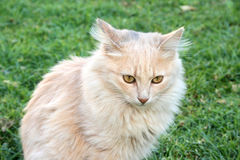 Tawny cat. On green grass Stock Image