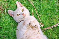 Tawny cat. On green grass Royalty Free Stock Photography