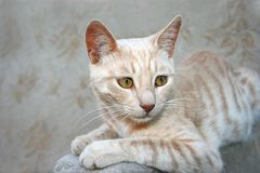 Tawny cat Stock Photography