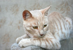 Tawny cat. Sitting on sofa Royalty Free Stock Photos