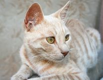 Tawny cat Royalty Free Stock Images