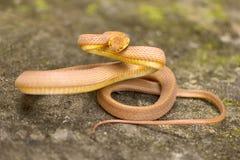 Tawny cat snake, Boiga ochracea, Colubridae, Gumti, Tripura , India stock images