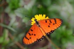 Tawny Coaster Acraea-violae Schmetterling Stockbilder