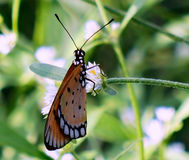 Tawny Costas butterfly Royalty Free Stock Photos