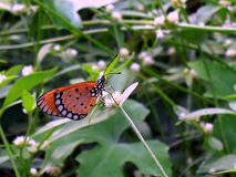 Tawny Costas butterfly Royalty Free Stock Image