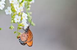 Tawny coster butterfly Royalty Free Stock Images