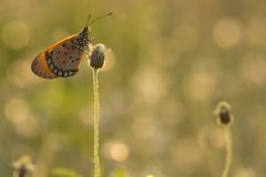 The Tawny Coster butterfly Acraea violae on flower and green nature. Thailand stock photography