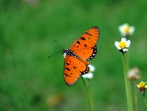 Tawny Coster butterfly. Tawny Coster beautiful Butterfly sitting on white grass flower stock image