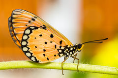 Tawny Coster Butterfly. Close up of Tawny Coster butterfly stock photos