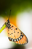 Tawny Coster Butterfly Royalty Free Stock Image