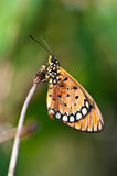 Tawny coster butterfly. Close up stock photography