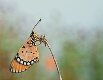 Tawny coster butterfly. Close up royalty free stock images