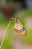 Tawny coster butterfly. Close up stock photos
