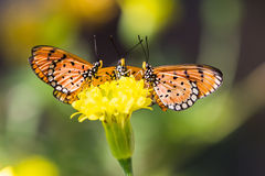 Tawny coster butterfly. Close up of tawny coster (Acraea terpsicore or Acraea violae) butterflies perching on marigold flower royalty free stock photos