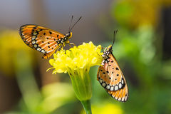 Tawny coster butterfly. Close up of tawny coster (Acraea terpsicore or Acraea violae) butterflies perching on marigold flower stock photography