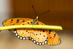 Tawny Coster Butterfly Royalty Free Stock Photography
