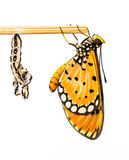 Tawny Coster butterfly and cocoon. On white background stock photography