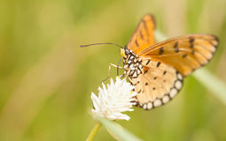 Tawny coster butterfly. With everlasting flower royalty free stock photography