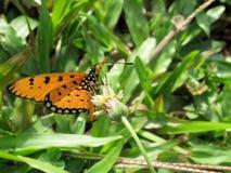 Tawny Coster Butterfly Feeding fotografia stock libera da diritti