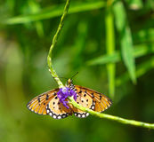 Tawny Coster butterfly in a garden. Tawny Coster butterfly found in a garden stock photo