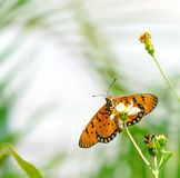 Tawny Coster butterfly in a garden. Tawny Coster butterfly found in a garden stock photography