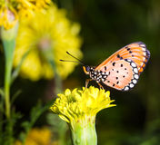 Tawny Coster butterfly on marigold flower Royalty Free Stock Image
