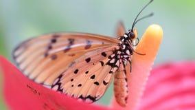 Tawny Coster Butterfly med blomman i Thailand lager videofilmer