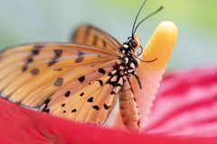 Close up Tawny Coster Butterfly on nature Background. Tawny Coster Butterfly on nature Background in Thailand stock images